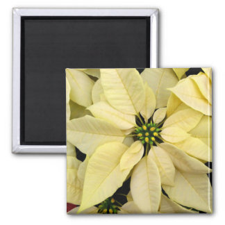 White Poinsettias Magnet
