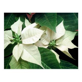 White Poinsettias Postcard