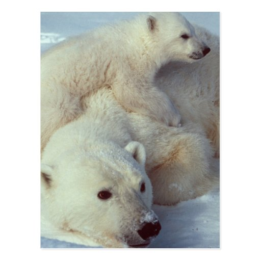 White Polar Bear family Post Card