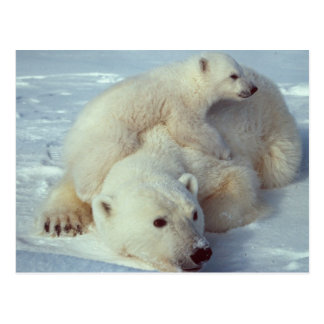 White Polar Bear family Postcard