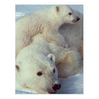 White Polar Bear family Postcard