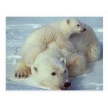 White Polar Bear family Postcards