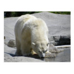 white polar bear post card