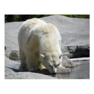white polar bear postcard