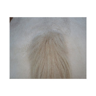 white pony tail straight on equine horse design canvas prints