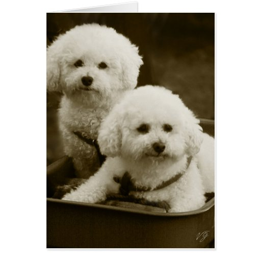 White Poodle Puppy Twins Greeting Card