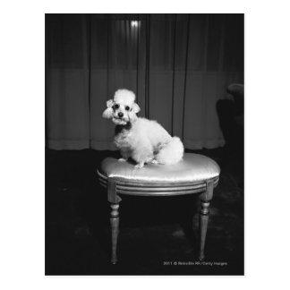 White poodle sitting on stool B&W Postcard