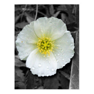 White Poppy After the Rain Postcard