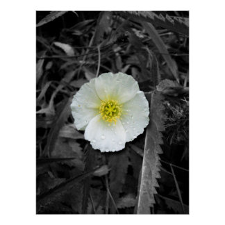 White Poppy After the Rain Poster