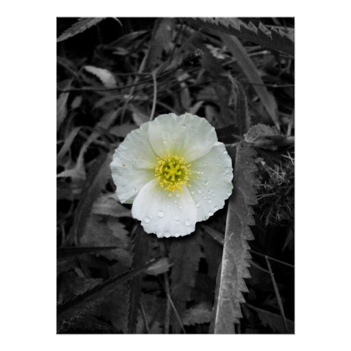 White Poppy After the Rain Posters
