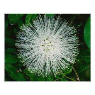 White Powder Puff Flower Photo Print