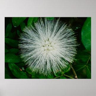 White Powder Puff Flower Poster