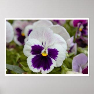 White Purple Pansy Photo Poster