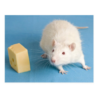 White rat with cheese postcard