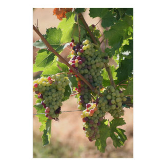 White & Red Grapes Poster