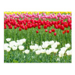 White, red & yellow tulips postcard