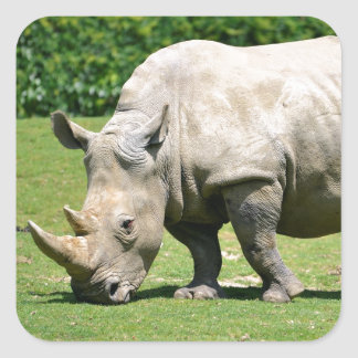 White rhinoceros grazing grass square sticker
