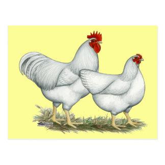 White Rock Chickens Postcard