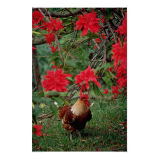 White Rooster and red flowers, Vanuatu flowers Posters