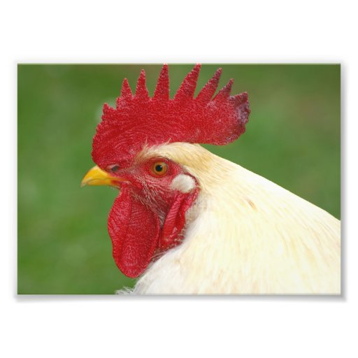 White Rooster Poster Photograph