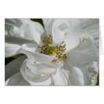 White Rosa Blank Card
