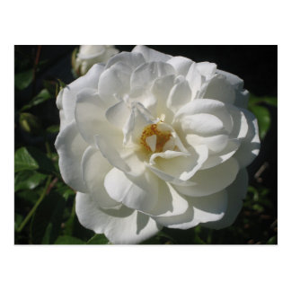 White Rose Afternoon Postcard