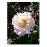 White Rose and Rose Bud Photograph Postcard