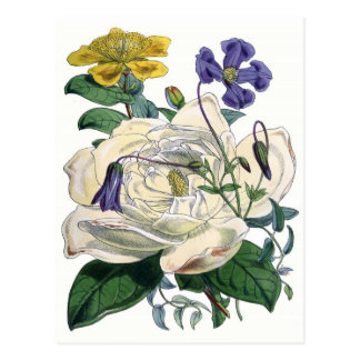 White Rose Botanical Illustration Post Cards