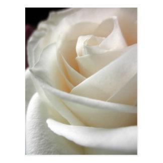 White Rose Floral Print Postcard
