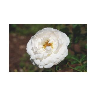 White Rose in Bloom Canvas Print