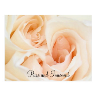 White Rose: Innocent and Pure Love Postcard