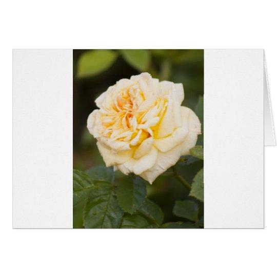 white rose.jpg card