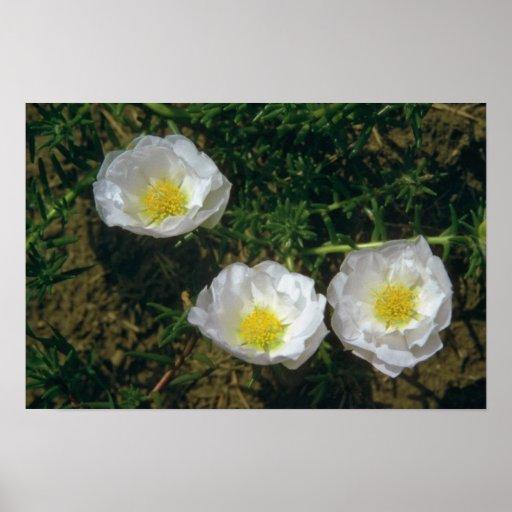 white Rose Moss (Portulaca Grandiflora) flowers Poster
