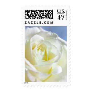 White Rose on Baby Blue | Flower Postage