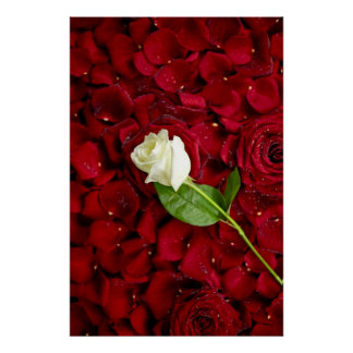 White Rose On Red Petals Poster