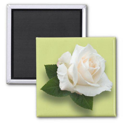 White Rose 'Pascali' Fridge Magnet