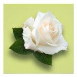White Rose 'Pascali' Photo Art