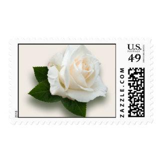 White Rose 'Pascali' Postage Stamp