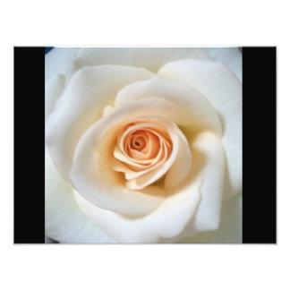White rose photo print