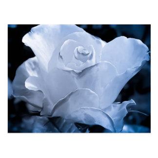 White Rose Post Card