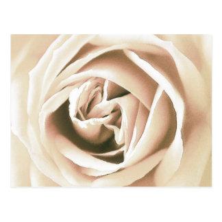White rose print postcard