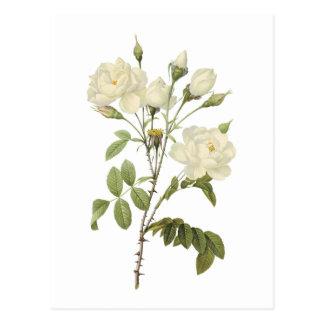 white rose(Rosa campanulata alba) by Redouté Post Card