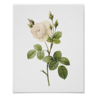 white rose(Rosa campanulata alba) by Redouté Poster