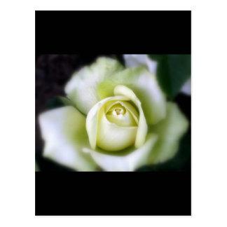 White Rose Soft Focus Postcard