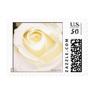 White Rose (Square Size) Postage Stamps