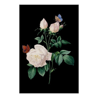 White rose with butterfly black background poster