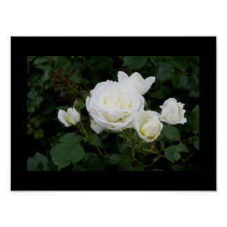 White rose with four white rosebuds poster