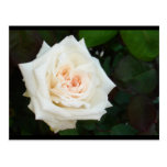 White Rose With Natural Garden Background Postcards