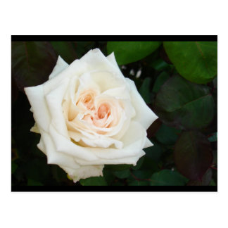 White Rose With Natural Garden Background Postcard