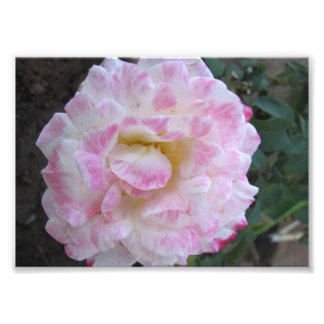 White Rose with Pink Edges Photo Print